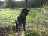 Assam, Ready to Attack (sjrankin) Tags: 15march2018 edited animal cat california northerncalifornia shinglesprings assam catrun 4february2006