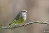 _DSC2579-ps (vilaramon) Tags: verdierdeurope carduelischloris europeangreenfinch passériformes fringillidés