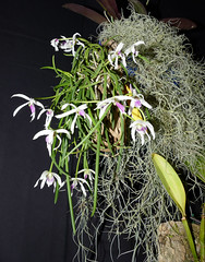 the 2018 pacific orchid exposition: Leptotes bicolor species orchid 2-18 (nolehace) Tags: winter nolehace sanfrancisco fz1000 218 flower bloom plant leptotes bicolor species orchid poe sdos 2018 pacific exposition pacificorchidexpositon goldengatepark 66th annual orchidsinwonderland countyfairbuilding