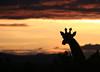 SUN SETTING OVER THE MASAI MARA (gazza294) Tags: sunset sunsetoverthemasaimara nationalgeographic naturetrek nature wildlife wildlifemagazine wildlifephotography wildlifephotographer flicker flickr flckr flkr flickrexplore gazza294 garymargetts
