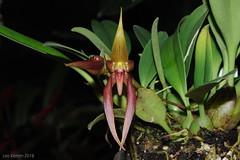 Bulbophyllum papulosum (LukusuziRiver) Tags: orchid bulbophyllum