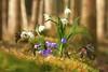 eine positive Perspektive... (Renata1109) Tags: perspektive makro leberblümchen märzenbecher frühling spring flowers blumen blau weis wald outdoor natur farben grün green wood