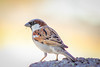 IMG_8575 (VikramDeep) Tags: birds sparrow pegion columbidae canon eos 550d india haryana sunday 75300mm ef nature boekh