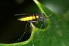 Sciara du groupe analis, un insecte diptère nématocère. (chug14) Tags: macro insecte unlimitedphotos animalia arthropoda hexapoda insecta diptera nematocera sciaridae sciara sciaraanalis