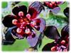 Beautiful blooms of Vincetoxicum nigrum (jayjayc) Tags: flickr18 jaycjayc malaysia kualalumpur vincetoxicumnigrum vines purle black