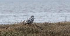 DSC_3728 (Adrian Royle) Tags: lincolnshire friskney thewash nature wildlife bird owl snowyowl nikon