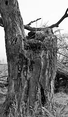 Tree Trunk (jeffyphotos) Tags: trees deadbranches arkellontario