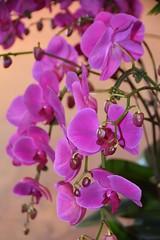Flora - Orchid spray (stevelamb007) Tags: chicagobotanicgarden stevelamb nikon d7200 flowers orchids garden nature beautiful colorful glencoe illinois flora plant
