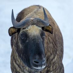 Ähtäri Zoo, Finland (Ninara) Tags: takin ähtäri ähtärizoo winter wildanimal animal takini zoo talvi