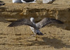 Caspian gull / Larus cachinnans / Pontische meeuw 2cy [Y] X447 (Herman Bouman) Tags: caspiangull laruscachinnans pontischemeeuw 2cy