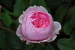 Rosa 'Geoff Hamilton' - Kew Gardens (Ruud de Block) Tags: kewgardens ruuddeblock royalbotanicgardens rosaceae rosageoffhamilton rosa geoff hamilton