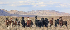 In the Country of the Mustang (chad.hanson) Tags: wildhorses mustangs wildlife wyoming