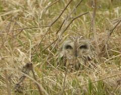 Look what we saw! (JuliaC2006) Tags: elmleymarshes kent bird shortearedowl asioflammeus