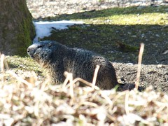 Murmeltier | Marmot (h5b9) Tags: murmeltier alpinemarmot crop