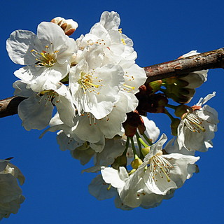 Las flores de mi cerezo - The flowers of my cherry tree