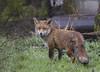 500_2435 Wet urban  Fox (Rattyman76) Tags: fox allotment walkden worsley d500 20005000mmf56