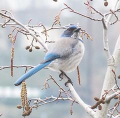 Frosty White. (Omygodtom) Tags: wildlife bird scrubjay blue coth5 tamron90mm outside frosty d7100 portrait