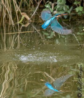 Kingfisher on the K&A