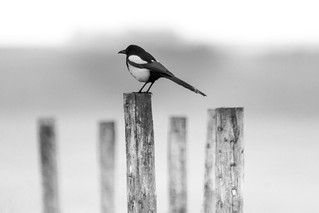 Magpie on Post