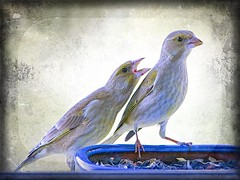 ... et d'abord t'es qu'un bon à rien ! (*Jost49*) Tags: oiseau bird verdier greenfinch mangeoire manger graine seed tournesol sunflower texture canoneos6dmkii
