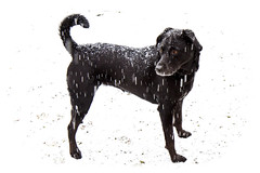 Snowcovered (brucetopher) Tags: snow spring snowstorm dusting accumulation snowfall snowing dog black labradore retreiver rescue luisianna snowflakes covered flurry flakes snowflake ground