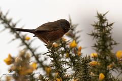 Dartford Warbler (M_R_Curtis) Tags: 2018 rspbarne dartfordwarbler arne england unitedkingdom gb
