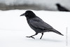Northwestern Crow (karenmelody) Tags: alaska animal animals bird birds corvid corvidae corvids corvuscaurinus crows homer northwesterncrow passeriformes usa vertebrate vertebrates passerine passerines perchingbirds