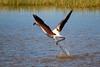 Flamenc (Albert T M) Tags: phoenicopterus flamencs flamencos aiguamollsdelempordà aiguamolls marismas humedal altempordà natura naturaleza espainatural àlics ocells catalunya catalonia catalogne cataluña canon70300mmf456isiiusm