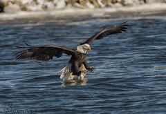 Bald Eagle fishing. (Estrada77) Tags: raptors birdsofprey distinguishedraptors birds birding wildlife nikond500200500mm ld14 inflight jan2018 mississippiriver fishing