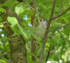Tufted Titmouse May 2017 (turn off your computer and go outside) Tags: 2017 baeolophusbicolor birdsofminnesotaandwisconsinpage237 carverroehlpark may rockcountyparksystem tuftedtitmouse wi wisconsin bird blurry artistreference clearday critter identified inhabitat nature outdoors perched spring springtime blurryartistreference