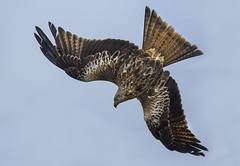 Kite - A natural justice (Ann and Chris) Tags: avian amazing awesome bird close flying feathers gorgeous hunting majestic kite red redkite predator raptor stunning wildlife wild wings