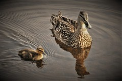 That's Close Enough (Insearchoflight) Tags: avianbeauty avianwonders avianpictures ducks mallards mallardwithchick inthewild waynenorman insearchoflight lightandshadow birds wildlife naturepics quidividi stjohns newfoundlandandlabrador canada coth5