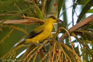 Black-naped Oriole (juvenile) ©