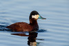 Ruddy Duck-47618.jpg (Mully410 * Images) Tags: avian duck birding coonrapidsdam ruddyduck bird birds birder birdwatching fowl waterfowl mississippinationalriverrecreationarea nationalpark