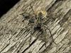 Famille Lycosidae (oeufs) (Répertoire des insectes du Québec) Tags: arachnide araignée arachnida macro quebec spider