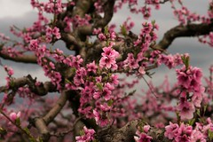 peach blossoms (lucafabbricesena) Tags: peach blossom flower spring trees pink cloudy countryside cesena emiliaromagna italy bloom bokeh macro nikon d800 plants nature