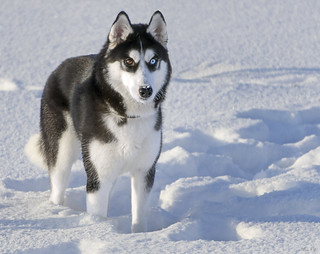Young Husky. New Year's version ;-)