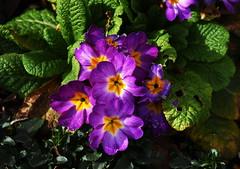 DSC_8933 (PeaTJay) Tags: nikon england uk gb royalberkshire reading winnersh flowers plants