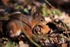 Red Squirrel carrying young in its mouth 8703(6D3) (wildlifetog) Tags: red squirrel alverstone isleofwight uk wild wildlifeeurope wildlife nature canon england european eos6d young baby beingcarried martin blackmore mbiow