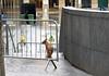 London Fox! [Explored!] (RiverCrouchWalker) Tags: fox london southbank march 2018 spring fences wall urban vulpesvulpes fencefriday happyfencefriday