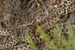 IMG_9166 (Sula Riedlinger) Tags: adder adderviperaberus viperaberus viper snake reptile ukwildlife uknature ukreptile nature nationalnaturereserve surrey surreywildlife surreyheathland wildlife wildlifephotography herpetology
