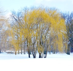 First Sign of Spring (Stanley Zimny (Thank You for 30 Million views)) Tags: tree yellow orchard beach bronx winter snow spring seasons