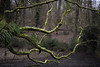 The reacher (toniertl) Tags: toniphotoxoncouk mossy branches tree green damp stretch reach bog woodland eerie winter cold snowy forest