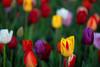 Tulipa (rdodson76) Tags: tulipa tulips tulip flower garden perennial gardening outside beauty beautiful pretty bright color colorful spring season seasons seasonal green yellow red flora floral bouquet flowers bloom blooms fancy yard