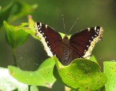 Mourning Cloak (Bug Eric) Tags: animals wildlife nature outdoors insects bugs butterflies nymphalidae lepidoptera mourningcloak nymphalisantiopa lizardtailswamppreserve newjersey usa northamerica september302017