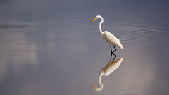 GUEJ_2018-03-02_10-16-18.jpg (jsguenette) Tags: oiseau faune cuba2018 grandeaigrette ornithologie bird birding birdwatching greategret ornithology wildlife