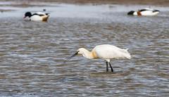 DSC_3623 (Adrian Royle) Tags: lincolnshire framptonmarsh rspb nature wildlife bird heron spoonbill nikon