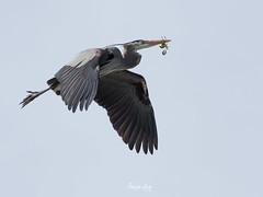 Herons Nest Making (Nam Ing) Tags: heron greyblueheron