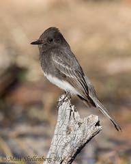 Black Phoebe (Matt Shellenberg) Tags: bird black phoebe blackphoebe arizona southwest flycatcher matt shellenberg