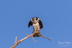 Male Osprey landing sequence - 28 of 28